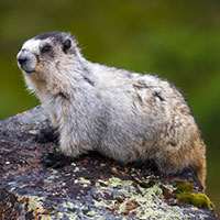 The hoary marmot emits a high-pitched whistling noise, so the area became known as Whistler Mountain